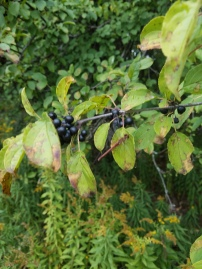 Buckthorn Berries