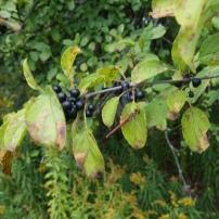 Buckthorn Berries